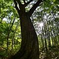ブナの木~森の守り人
