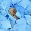 青い紫陽花~カタツムリ