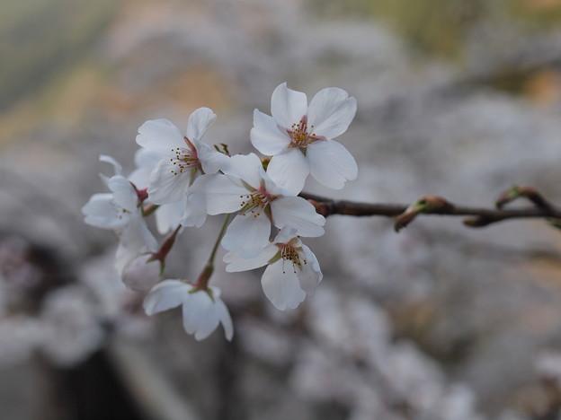 P4160301 中山七里の桜その16