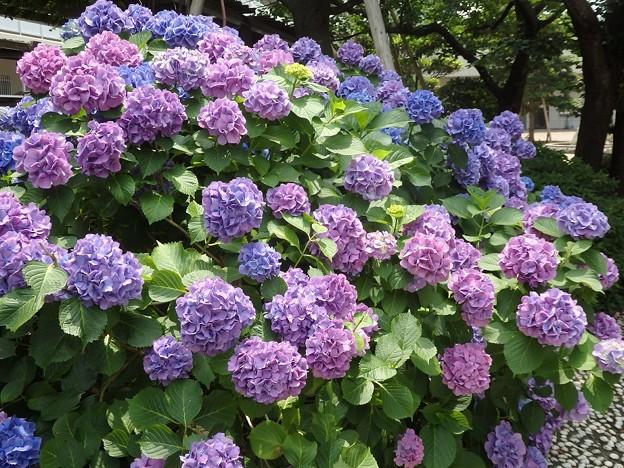 紫陽花~西明石