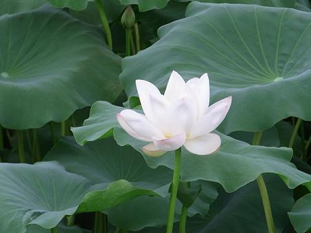 白い蓮の花。