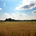 写真: 麦畑 (2)