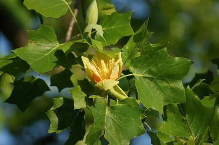 百合の樹(ユリノキ)