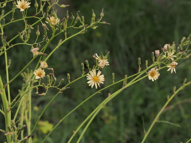 アキノノゲシ Lactuca indica