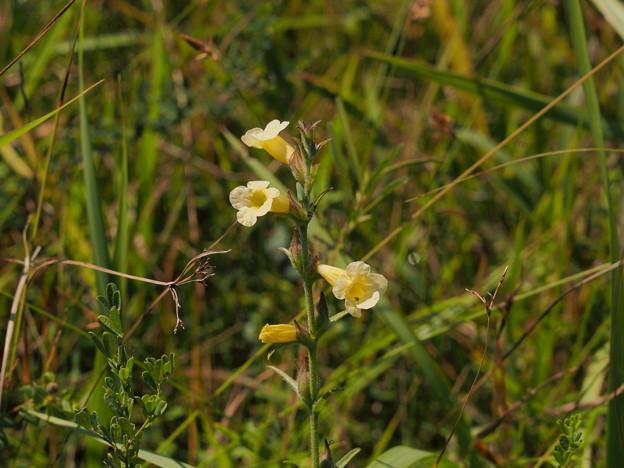 Photos: ゴマクサ Centranthera cochinchinensis var. lutea