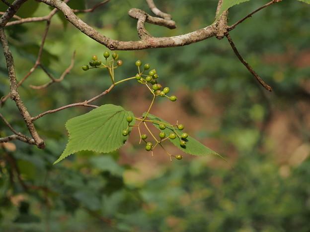 オオミヤマガマズミ Viburnum wrightii var. stipellatum