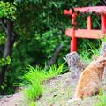 Photos: 猫と鳥居