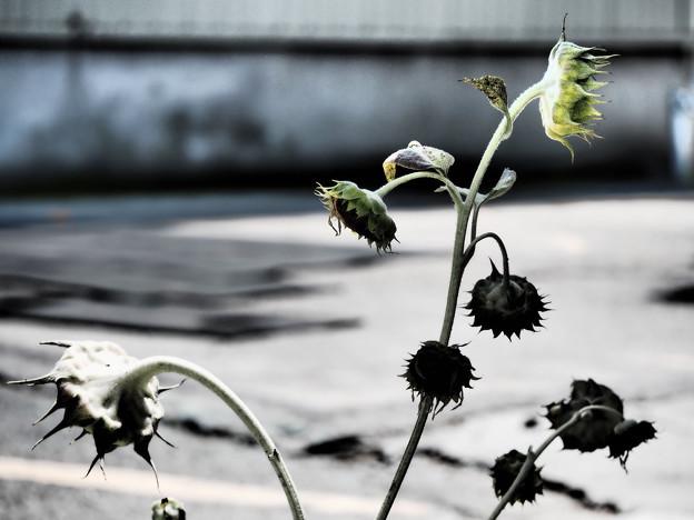 Photos: うつむく太陽