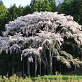 Photos: 里桜