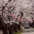 Photos: 桜と軽トラ