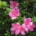 梅雨の晴れ間の皐月(自宅の花)