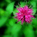 写真: ベルガモット(タイマツバナ)我が家の花