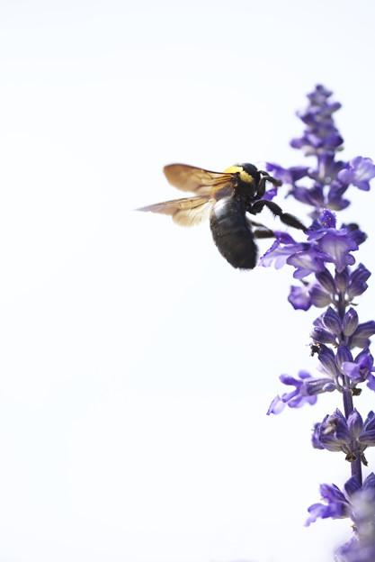 熊蜂紫花図