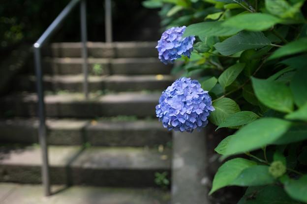 光則寺の紫陽花