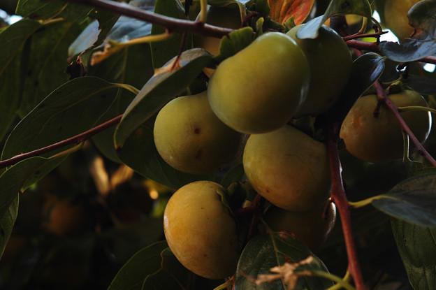 Photos: 蒼柿。