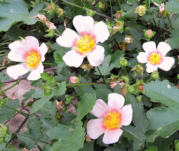 初夏の花・・ マルバトラム