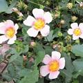 Photos: 初夏の花・・ マルバトラム