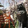 Photos: 稲毛神社の桜と狛犬3