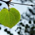 Photos: Heart Leaf