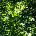 Photos: 森の天井