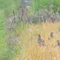 初見・初撮りのキジの幼鳥