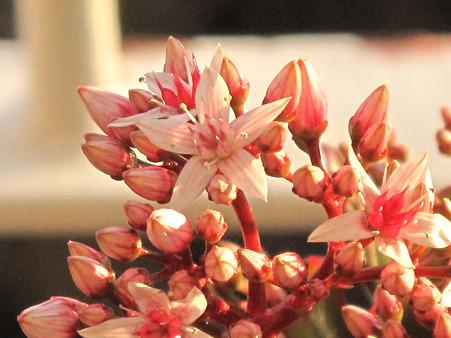 咲いた金のなる木 花