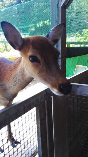写真: P_20150726_110332 小鹿