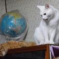 写真: 2015年08月08日のシロちゃん(メス2歳)