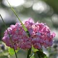真夏の紫陽花...陽射しを浴びて