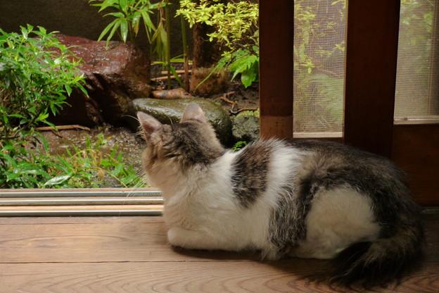 廊下から雨模様を眺める猫