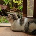 写真: 廊下から雨模様を眺める猫