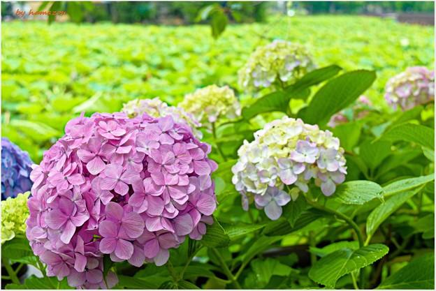 Photos: 紫陽花2(2015)