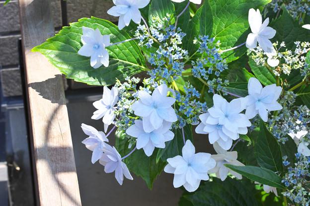 庭の紫陽花さん その2(スミダハナビ)
