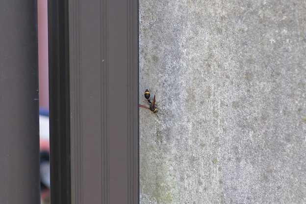 スズメバチかと思ったらスズバチ