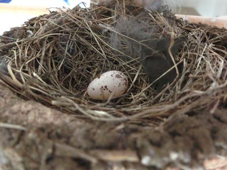 祝!産卵1個目