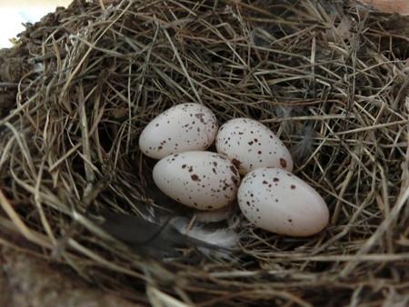 4個目産卵