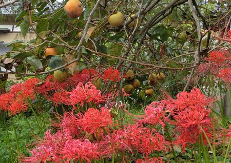 曼珠沙華と柿