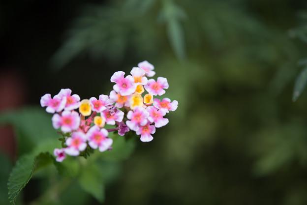 【庭のランタナ(AF-S_Micro_NIKKOR_60mm)f2.8】