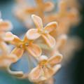 【庭に咲く金木犀】55ミリ2