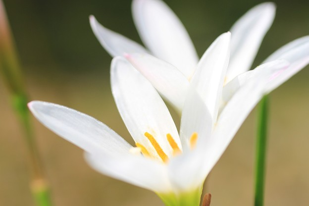 IMG_2642橘寺(仏頭山上宮皇院菩提寺)・玉簾(ゼフィランサス)