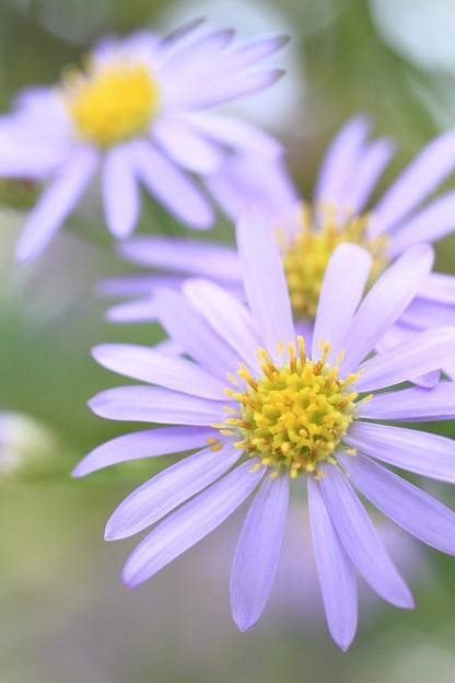 IMG_2654橘寺(仏頭山上宮皇院菩提寺)・紫苑