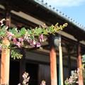 IMG_2724元興寺(極楽坊)・萩と極楽堂(極楽坊本堂)(国宝)