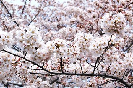 桜 2012年04月07日_DSC_0917