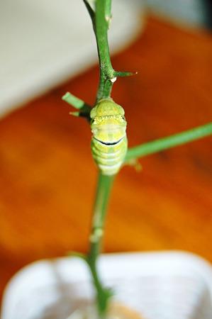 2011年09月10日_DSC_1161キアゲハの蛹化