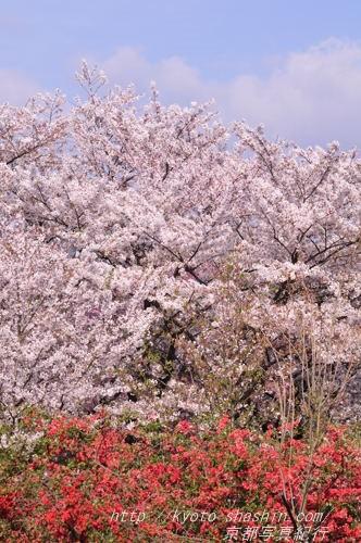 桜とぼけの花