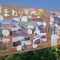 Photos: キャベツ畑のひまわり祭り2015その3