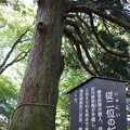 写真: 従二位の杉