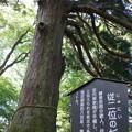 Photos: 従二位の杉