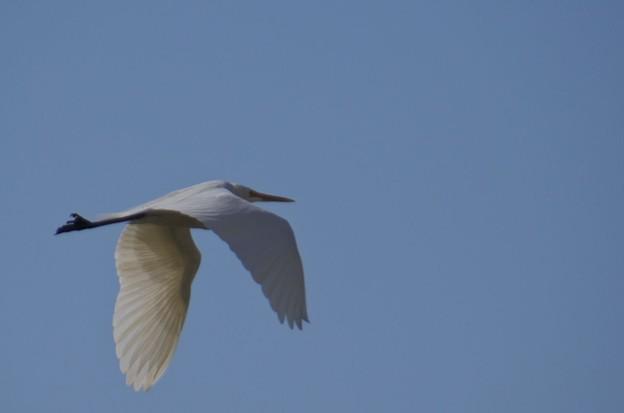 愛知県知多湾上空を飛ぶ鷺1