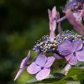 Photos: 公園の紫陽花